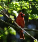 cardinal in green leaves