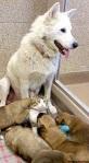 white shepherd with puppies and kitten
