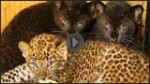 spotted leopard cubs